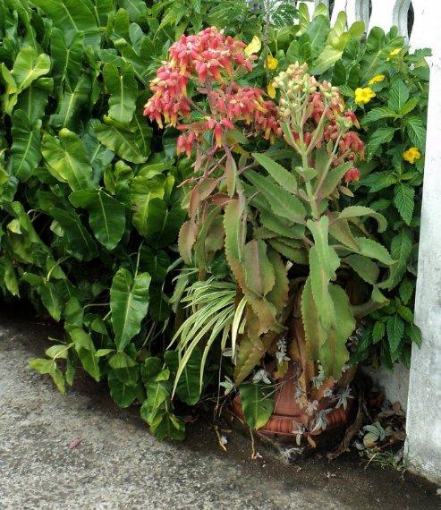 Bryophyllum Pinnatum