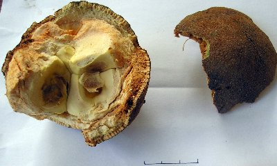 Hydnocarpus Anthelminthica